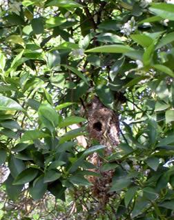 2009.04.bushtit-nest